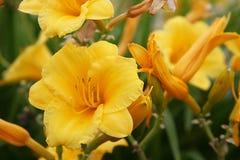 Piękny złoty spadek kwitnie w spadku słońcu Zdjęcia Royalty Free