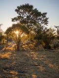 Piękny złoty zmierzch za sylwetkami drzewa blisko Moremi parka narodowego, Botswana, afryka poludniowa Obraz Stock