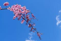 Piękny z gałąź różowy Sakura naturalnie Fotografia Royalty Free