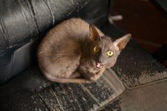 Piękny z włosami kot jest gniewny Zdjęcie Stock