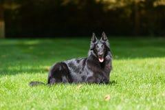 Piękny zabawy Groenendael psa szczeniaka czekanie Czarny Belgijski bacy Groenendael jesieni portret zdjęcie stock