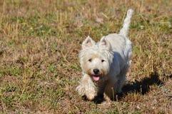 Piękny Zachodniego średniogórza Białego Terrier pies Cieszy się rasy Przez Rebedul łąk W Lugo Zwierzę krajobrazów natura obrazy stock
