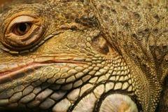 Piękny zakończenie brown iguana obrazy royalty free