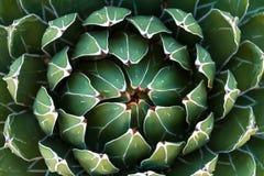 Piękny zakończenie kwiatonośny Zielony Wiktoria agawy kaktus Zdjęcie Royalty Free
