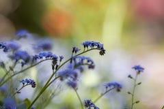 Piękny zakończenie obrazek czuli dzicy wiosny i lata kwiatów błękitni kwiaty ja lavishly kwitnie na zamazanym kolorze fotografia royalty free