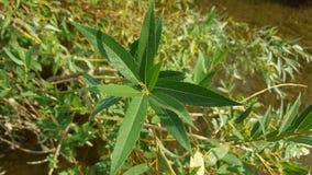 Piękny zakończenie up strzelał świeża zielona agawy roślina Roślina z ostrze zieleni liśćmi Obraz Stock
