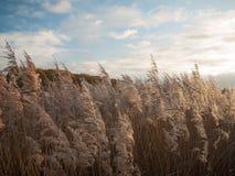 Piękny zakończenie up złoty luksusowy traw płoch niebo nad landscap Zdjęcie Royalty Free