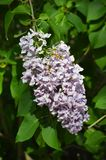 Piękny zakończenie w górę fotografii lili kwiaty obraz royalty free