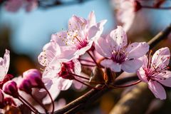 Piękny zakończenie w górę kwiatu prunus cerasifera nigra zdjęcie stock
