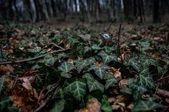 Piękny zakończenie w górę obrazka z zielonym bluszczem na ziemi w dzikim lesie zdjęcie royalty free