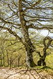 Piękny zakrywający z liszaju Maja bukowym drzewem w Hiszpańskich Pyrenees górach zdjęcia stock