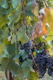 Piękny zbliżenie dojrzały amarone czerni winogrono fotografia stock