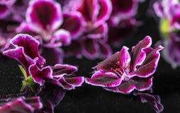 Piękny zdroju pojęcie bodziszka kwiat w odbicie wodzie, Ro Obraz Royalty Free