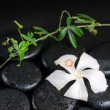 Piękny zdroju pojęcie kwitnąć delikatnego białego poślubnika, zieleń Obraz Royalty Free