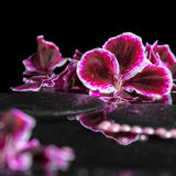 Piękny zdroju tło kwitnący ciemny purpurowy bodziszka kwiat Obraz Stock