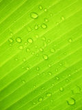 Piękny Zielony Bananowy liść z Wodnymi kroplami fotografia royalty free