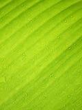 Piękny Zielony Bananowy liść z Wodnymi kroplami zdjęcia royalty free
