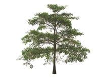 Piękny zielony drzewo, czarci drzewo na białym tle, Obraz Royalty Free