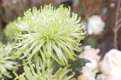 Piękny zielony grevillea blask księżyca kwitnie tło obraz royalty free