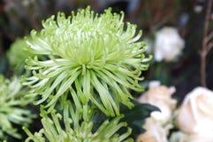 Piękny zielony grevillea blask księżyca kwitnie tło fotografia stock