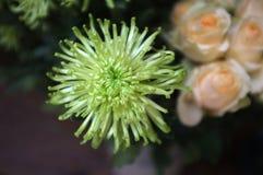 Piękny zielony grevillea blask księżyca kwitnie tło fotografia royalty free