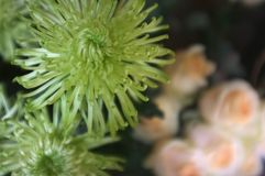 Piękny zielony grevillea blask księżyca kwitnie tło obraz stock