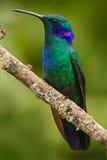 Piękny zielony hummingbird z błękitną twarzą Zielony ucho, Colibri thalassinus, Hummingbird z zielonym urlopem w naturalnym siedl Zdjęcie Royalty Free