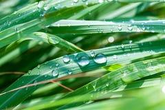 Piękny zielony lemongrass liścia tło Obrazy Stock