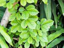 piękny zielony liść Fotografia Royalty Free