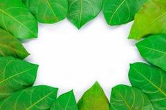 Piękny zielony liść dla tła lub tekstury - natury pojęcie Zdjęcie Royalty Free