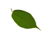 piękny zielony liść jeden Fotografia Stock
