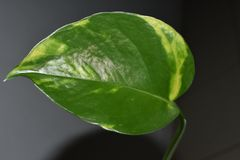 Piękny zielony liść salowa roślina Obraz Royalty Free