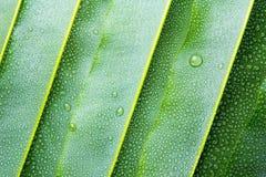 Piękny zielony liść z kroplami woda Obraz Royalty Free
