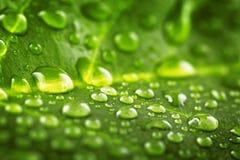Piękny zielony liść z kroplami woda Fotografia Royalty Free