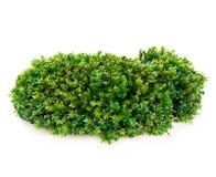 Piękny zielony mech zakończenie odizolowywający na białym tle Fotografia Stock