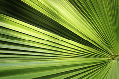 Piękny zielony palmowego liścia zakończenie r outdoors Miękkiej części i plamy poczęcie Zdjęcie Royalty Free