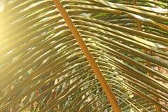 Piękny Zielony Palmowy liść i słońce Zielony tło drzewko palmowe zdjęcia stock