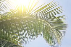 Piękny Zielony Palmowy liść i słońce Zielony tło drzewko palmowe obrazy royalty free