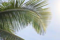 Piękny Zielony Palmowy liść i słońce Zielony tło drzewko palmowe zdjęcie royalty free