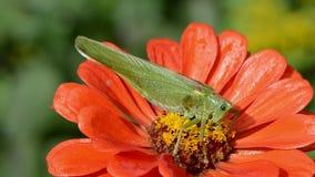 Piękny zielony pasikonik na pomarańczowym cynia kwiacie zbiory
