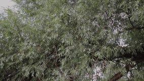 Piękny zielony ulistnienie drzewa w lecie zbiory wideo