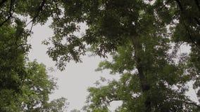 Piękny zielony ulistnienie drzewa w lecie zdjęcie wideo