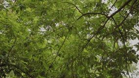 Piękny zielony ulistnienie drzewa w lecie zbiory