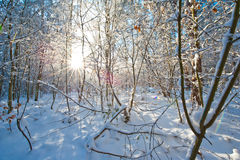 Piękny zima krajobraz z śniegiem zakrywał drzewa - pogodny zima dzień Obraz Royalty Free