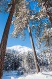 Piękny zima krajobraz z dużymi sosnami i widokiem górskim Fotografia Stock