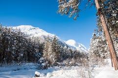 Piękny zima krajobraz z dużymi sosnami i widokiem górskim Zdjęcia Stock