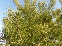Piękny zima lasu tło krajobrazowa las sosna Duży piękny zielony sosny drewno Obraz Stock