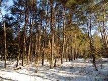 Piękny zimy landscape Abstrakcjonistyczny sosnowy lasowy tło Zdjęcie Stock