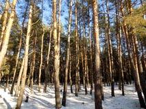 Piękny zimy landscape Abstrakcjonistyczny sosnowy lasowy tło Fotografia Royalty Free