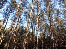 Piękny zimy landscape Abstrakcjonistyczny sosnowy lasowy tło Obraz Stock